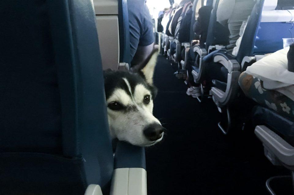 Как путешествовать с питомцем на самолете?